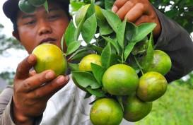 Pemerintah Genjot Produksi Jeruk Lokal