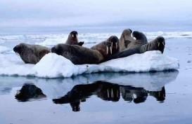 Anjing Laut di Arktik di Ambang Kepunahan