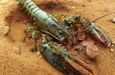 Potensi Kerugian Negara dari Penjualan Bibit Lobster di NTB Capai Rp10 Miliar
