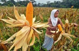 Banten Bersiap Panen Raya Jagung