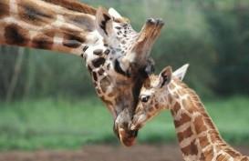 "Menpar Arief Yahya ""Hibahkan"" Nama Anaknya Untuk Bayi Jerapah Taman Safari Pasuruan"