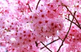Yuk, Lihat Peristiwa Langka Bunga Sakura Mekar di Cibodas