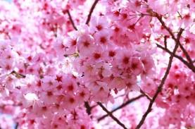 Yuk, Lihat Peristiwa Langka Bunga Sakura Mekar di…