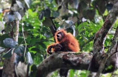 Hari Orangutan Sedunia: Karhutla Ancaman bagi Orangutan