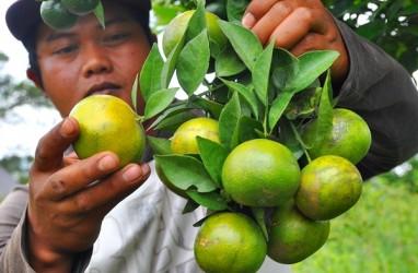 BUAH TROPIS : Kementan Kembangkan Jeruk Biofarmaka