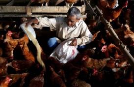 PETERNAKAN UNGGAS : Larangan Antibiotik Bisa Pacu Biaya Produksi