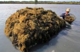 Produksi Rumput Laut Sumba Timur Ditarget Lompat 17 Kali Lipat