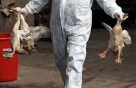 Bali Heboh Flu Burung, Penjualan Unggas Masih Normal