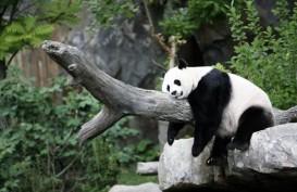 Naik Garuda, Dua Panda Raksasa dari China Menuju Jakarta