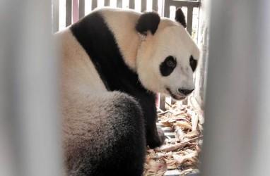 Ini Arti Nama Sepasang Giant Panda yang Datang dari China