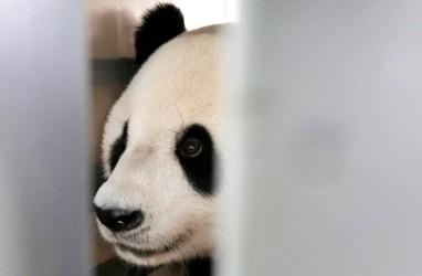 Bangun Fasilitas Giant Panda, Taman Safari Anggarkan Lebih dari Rp50 miliar