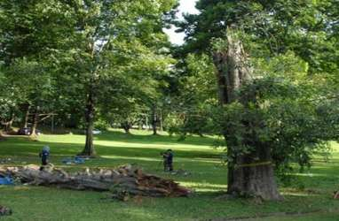 Pohon Berusia 194 Tahun di Kebun Raya Bogor Tumbang