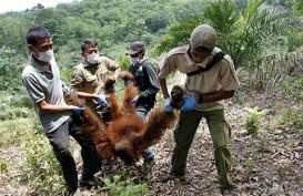 IAR Evakuasi 1 Individu Orangutan dari Rumah Warga di Kayong Utara