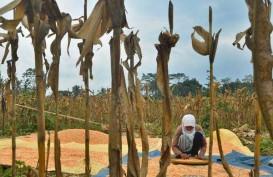 Tahun Ini  Impor Jagung Indonesia Nol