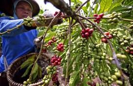 Produksi Arabika Terbatas, Petani Bali Kembangkan Robusta