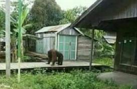 Orangutan di Kukar Masuk Permukiman Warga