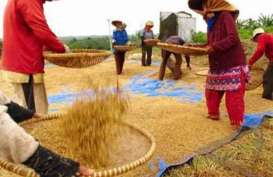 Harga Gabah di Petani dan Penggilingan Melonjak