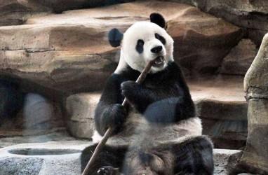 Lewati Masa Karantina, Giant Panda Segera Menyapa Masyarakat