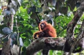 Orangutan Tapanuli Jadi Keluarga Baru Satwa
