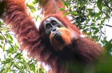 Orangutan Tapanuli, Spesies Baru yang Terancam Kelangsungan Hidupnya