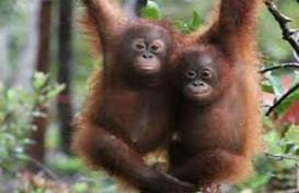 Orangutan dari Thailand Kembali ke Kalteng