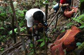 Miris! Bunga Rafflesia di Bengkulu Dipotong-potong…