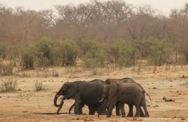 2 Turis Tewas Diinjak-injak Gajah Saat Mengambil Foto