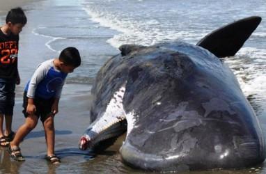 10 Fakta Menakjubkan Paus Sperma, Mamalia Laut Sepanjang 20 Meter