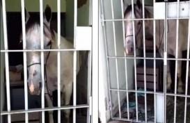 Aneh, Seekor Kuda Dipenjara karena Menendang Mobil di Jalanan