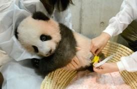Kebun Binatang Jepang Perlihatkan Aksi Menggemaskan Bayi Panda Xiang Xiang