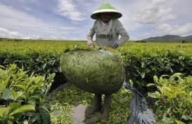 Tahun Ini, Mitra Kerinci Targetkan Produksi Teh Naik 15%