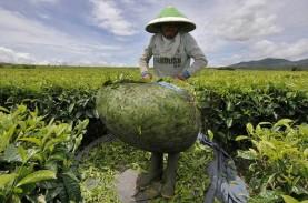 Tahun Ini, Mitra Kerinci Targetkan Produksi Teh Naik…