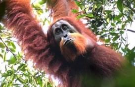 Polisi Periksa Puluhan Saksi Guna Ungkap Kematian Orangutan