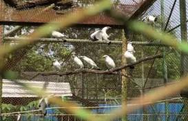 Populasi Jalak Bali di Alam Liar Sedikit Dibandingkan Penangkaran