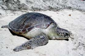 Lindungi Habitat Penyu, WWF Indonesia Pasang Lampu…