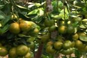 Disperindag Bali Akan Dorong Konsumsi Buah Lokal