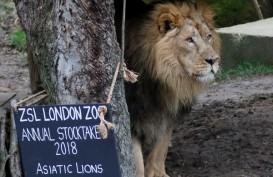 Pemburu Liar di Afsel Diduga Dimakan Singa
