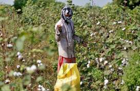Produksi Kapas India Bakal Lebih Rendah