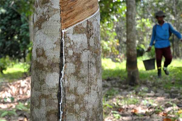 Petani memanen getah karet di Muaro Jambi, Jambi, Sabtu (13/5). - Antara/Wahdi Septiawan
