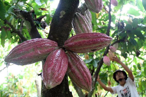 Pekerja memeriksa buah kakao di Sunggal, Deli Serdang, Sumut, Selasa (8/1).  - Bisnis.com