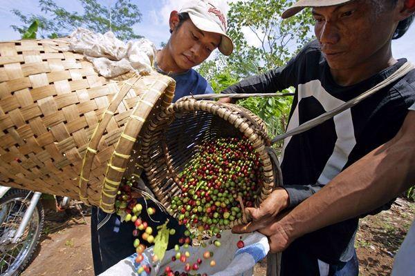 Panen kopi robusta, di Talang Padang, Lampung. - Bloomberg/Dimas Ardian