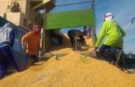 Nusa Tenggara Barat Optimistis Bisa Ekspor Jagung 300.000 Ton