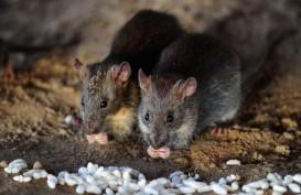 Balai Karantina Amankan 1.120 Ekor Daging Tikus Beku