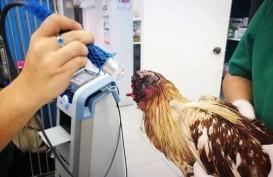 Aneh Bin Ajaib, Ayam Tanpa Kepala Ini Masih Bisa Hidup