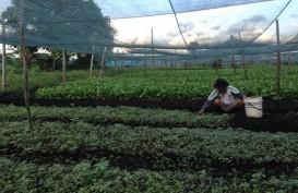 Australia Bantu Pendampingan Petani Sayur di Sorong