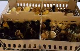 Unggas Lestari Unggul Ekspor Perdana Ayam Khas Indonesia ke Myanmar