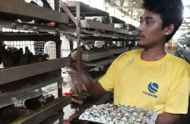 Himpuli: Investasi Ayam Lokal Perlu Diperbaiki