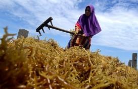 Permintaan Produk Olahan Rumput Laut Jelang Ramadan Melesat
