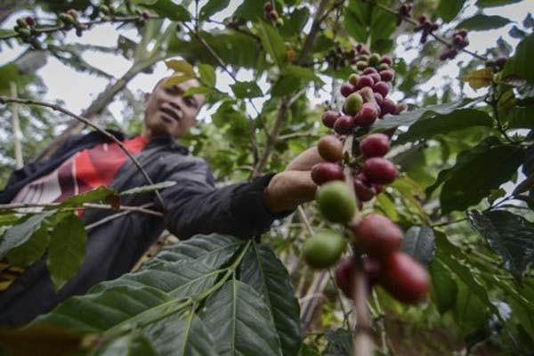 Ilustrasi petani memeriksa tanaman kopi. - Antara/Raisan Al Farisi