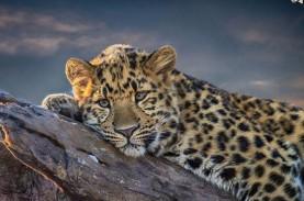 Enam Macan Tutul Tertangkap Kamera di Taman Nasional…